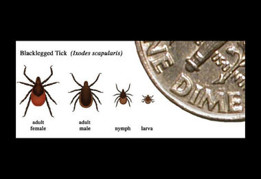 tick life stages medium crop